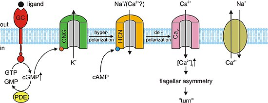 Cyclic nucleotide–gated ion channel - Wikipedia