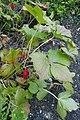 Sinopodophyllum hexandrum kz2.jpg