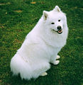 Sitting Samoyed.jpg