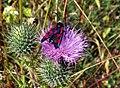 Six-Spot Burnet on thistle - geograph.org.uk - 1411225.jpg