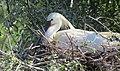 Skedstork Eurasian Spoonbill (14339448088).jpg