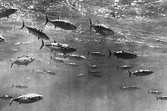 Skipjack tuna - Shoaling skipjack tuna