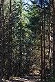 Skulyn Kovelskyi Volynska-Sosnyna-1 nature monument-young Pinus sylvestris.jpg