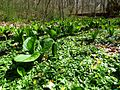 Skunk Cabbage Amongst the Celandines - Flickr - treegrow.jpg