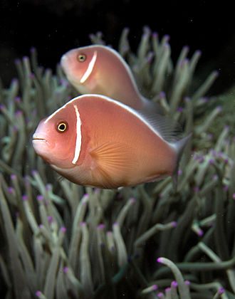 Amphiprioninae - A pair of pink anemonefish (Amphiprion perideraion) in their anemone home