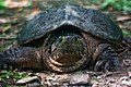 Snapping Turtle covered in moss.jpg