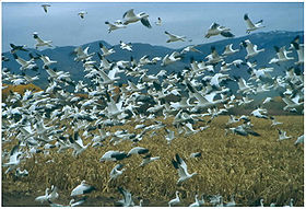 Image illustrative de l'article Refuge faunique national de Bosque del Apache