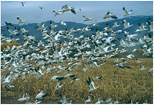 Bosque del Apache National Wildlife Refuge - Snow geese at Bosque del Apache