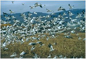 Snow Geese at Bosque del Apache