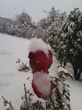 Snow Rose.jpg