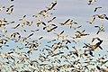 Snow geese - Fir Island - 12.jpg
