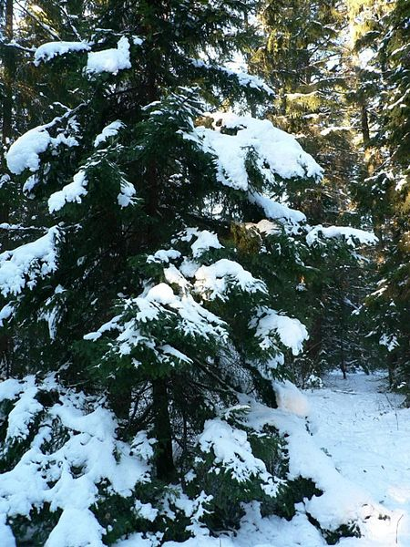 spruce tree snow - photo #36