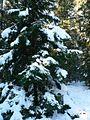 Snow on spruce tree.jpg
