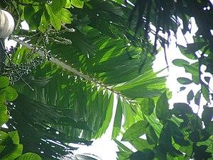 Socratea exorrhiza - A leaf of S. exorrhiza