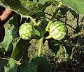 Solanum aculeatissimum 11.JPG