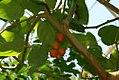 Solanum betaceum 2zz.jpg