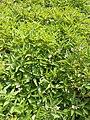 Solanum muricatum (1).jpg