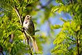 Song Sparrow (Melospiza melodia) (17168104938).jpg