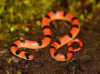 <i>Sonora</i> (genus) genus of reptiles