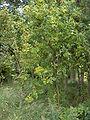 Sorbus aucuparia01.jpg