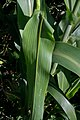 Sorghum bicolor leaf (02).jpg