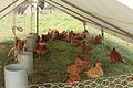 Soul Food Farm chickens.jpg