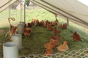 Chickens raised in a mobile pen on Soul Food F...
