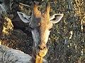 South African Giraffe 22.jpg
