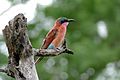 Southern Carmine Bee-eater (Merops nubicoides) juvenile (15890400783).jpg