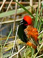 Southern Red Bishop (Euplectes orix) male (32607632322).jpg