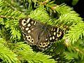 Speckled Wood (Pararge aegeria) Billy Lindblom.jpg
