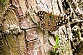 Speckled Wood Butterfly - Fowlmere (4697462548).jpg