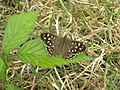 Speckled Wood butterfly (Pararge aegeria) - geograph.org.uk - 914722.jpg