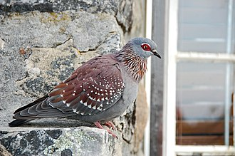 Speckled pigeon - On Table Mountain, Cape Town, South Africa
