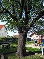 Speierling auf dem Spielplatz (Butzbach) 07.JPG