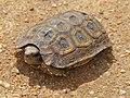 Speke's Hingeback Tortoise (Kinixys spekii) juvenile (13605300755).jpg