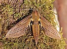 Sphinx moth (Xylophanes crotonis).jpg