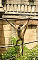Spider Monkey (5741196936).jpg