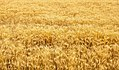Spikelets winter wheat (Triticum L.) on the private sector in the summer (35663341740).jpg