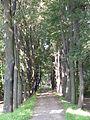 Ahornallee-Spitzahorn (Acer platanoides)
