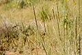 Sporobolus contractus - Flickr - aspidoscelis (1).jpg