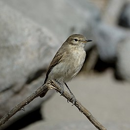 Spot-billed Ground-Tyrant.jpg