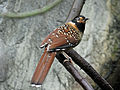 Spotted Laughingthrush, RWD7.jpg