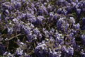 Spring-wisteria-flower - West Virginia - ForestWander.jpg
