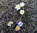 Spring Crocuses.JPG