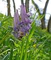 Spring Fumewort (Corydalis solida) (17006289467).jpg