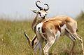 Springbok, Antidorcas marsupialis at Krugersdorp Game Reserve, Gauteng, South Africa (31389068852).jpg