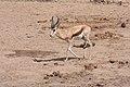 Springbok (Antidorcas marsupialis) (8603177145).jpg