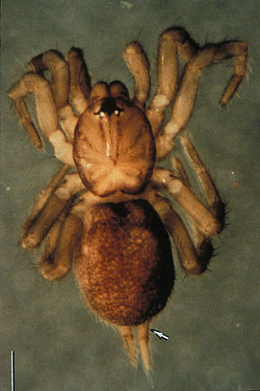 Description de l'image Spruce Fir Moss Spider.jpg.