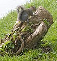 Squirrel on a stump (2848906327).jpg
